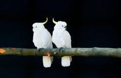 Cockatoo Zolfo-crestato fotografia stock libera da diritti