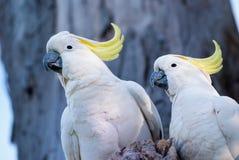 Cockatoos Imagen de archivo libre de regalías