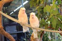 cockatoos Fotos de Stock Royalty Free