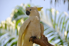 Cockatoos Royalty Free Stock Photography
