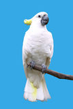 Cockatoos in blue background royalty free stock images