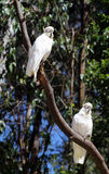 Cockatoos on a branches Stock Images