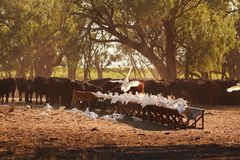 Cockatoos & cattle gather in the early morning to eat a feed of hay. The cattle gather under the shade of the gums trees in the early morning of rural New South stock photos