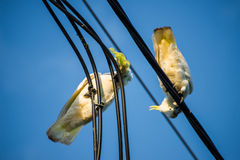 Cockatoos chewing on electrical cable Royalty Free Stock Photography