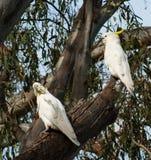 Cockatoos crestati dello zolfo Fotografie Stock