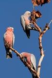 Cockatoos de Galah, Australie Image stock