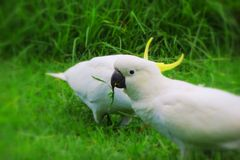 Cockatoos eating Royalty Free Stock Photo