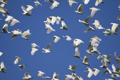 Cockatoos Flight Royalty Free Stock Image