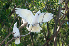 Cockatoos. Large white cockatoos of the Little Corella family (Cacatua Sanguinea), one of them spreading its wings whilst being vocal Stock Photo