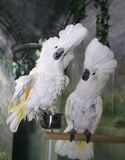 Cockatoos Showing Off Royalty Free Stock Images