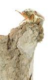 cockchafer жука Стоковое Фото