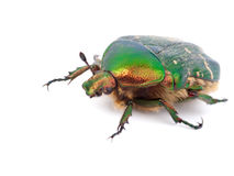 Cockchafer. Green cockchafer isolated on the white background Stock Photography