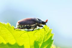 Cockchafer Stock Image