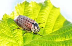 Cockchafer Royalty Free Stock Photos