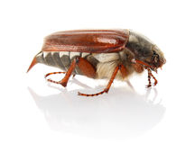 Cockchafer Stock Photo