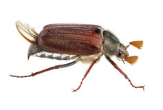 Cockchafer. May bug beetle springtime Royalty Free Stock Photography