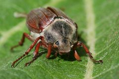 Cockchafer Stock Photos
