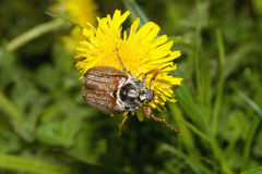 cockchafer Images stock
