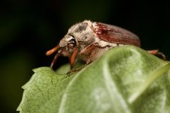 Cockchafer Beetle Royalty Free Stock Photography