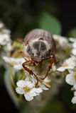 Cockchafer beetle on hawthorn white flower Stock Images