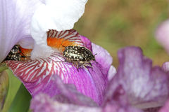 Cockchafer beetle on the iris Stock Photos