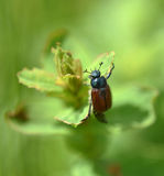 Cockchafer beetle in spring time Royalty Free Stock Photos