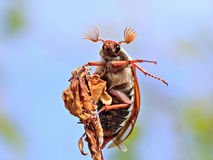 Cockchafer. The cockchafer on the branch Royalty Free Stock Photography