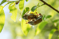 Cockchafer on a branch Royalty Free Stock Image
