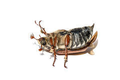Cockchafer Royalty Free Stock Photo