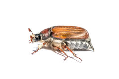Cockchafer Royalty Free Stock Photography