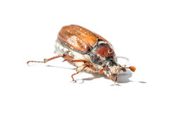 Cockchafer Royalty Free Stock Images