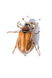 Cockchafer Royalty Free Stock Image