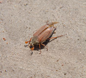 Cockchafer. In a close up Royalty Free Stock Photos