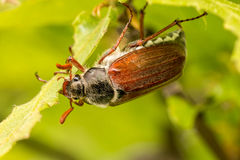Cockchafer. Close up of cockchafer (Melolontha melolontha) eating Stock Images