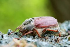 Cockchafer close up. Sleeping cockchafer on the wood Stock Photos