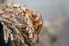 Cockchafer on dried plant. European beetle. Invertebrate pest. Common cockchafer on dried plant. European beetle. Invertebrate pest in backlight from closeup Stock Photo
