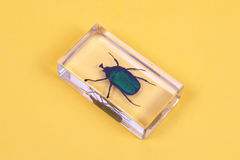 Cockchafer. Green cockchafer inside the plastic case royalty free stock photo