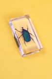 Cockchafer. Green cockchafer inside the plastic case stock images
