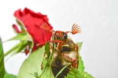 Cockchafer. On a green leaf Stock Images