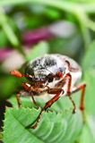Cockchafer. On a green leaf Stock Photos