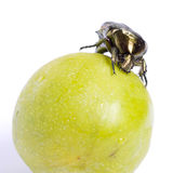 Cockchafer on a green plum. Stock Photography