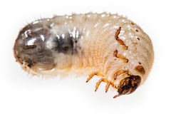 Cockchafer grub Stock Images
