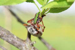 Cockchafer. Hanging on brunch of plum tree stock photo