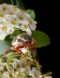 Cockchafer on hawthorn inflorescence Royalty Free Stock Photos