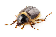 Cockchafer or june beetle Amphimallon solstitialis Stock Images