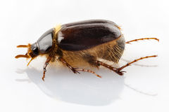 Cockchafer or june beetle Amphimallon solstitialis Stock Image