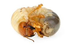 Cockchafer larva. Isolated on the white background Royalty Free Stock Photos
