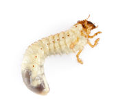 Cockchafer larva. On white background stock photo