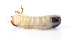 Cockchafer larva Royalty Free Stock Image