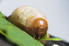 Cockchafer larva - white grubs Stock Photo